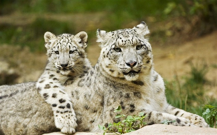 Snow Leopard Mother and Cub-Animal World Series Wallpaper Views:8559