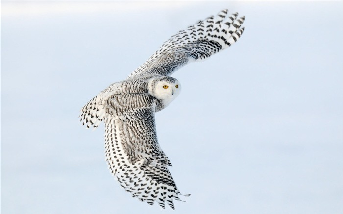 Snowy Owl-Animal World Series Wallpaper Views:6795