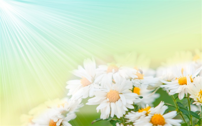 Sun white chrysanthemum-September flowers wallpaper