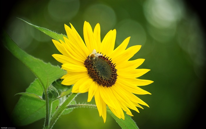 Sunflower-Nature Landscape wallpaper selected Views:5829