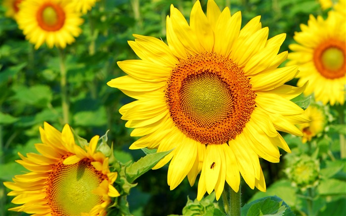 Sunflower-Summer romance Feelings Views:6687