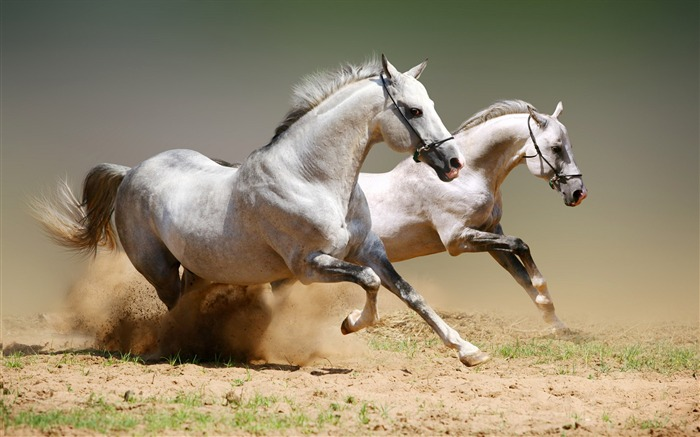 The White Horse race-Animal World Series Wallpaper Views:26598