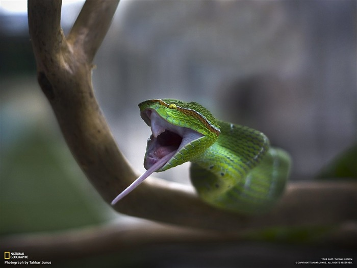 The snake swallowed mouse-National Geographic-Photo of the Day Views:12872