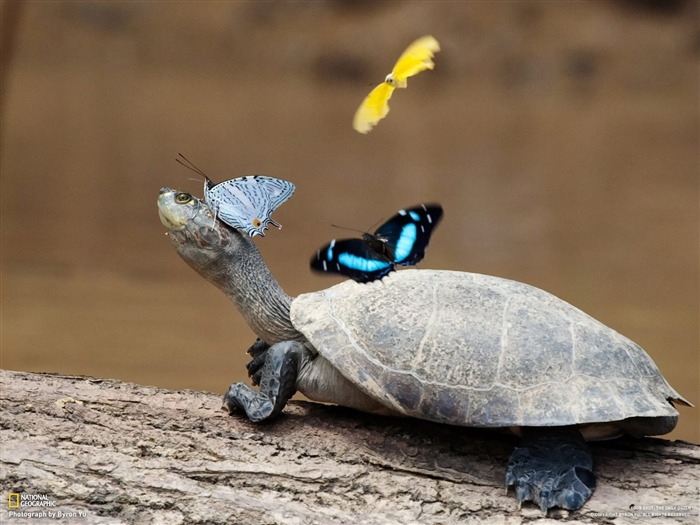 Turtle and her partner butterfly-National Geographic-Photo of the Day Views:17488