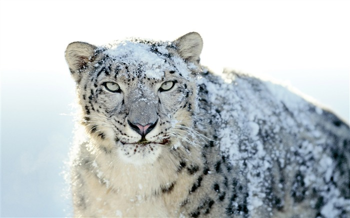 Very beautiful snow leopard-Animal World Series Wallpaper Views:11606