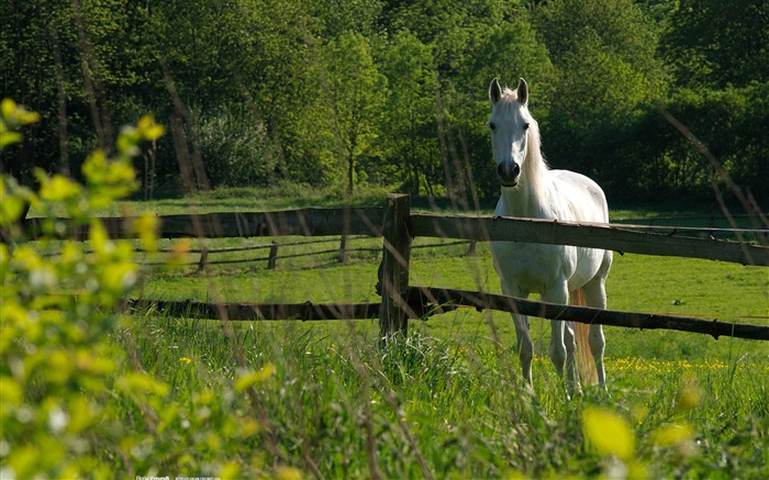 White Horse-Nature Landscape wallpaper selected Views:10038