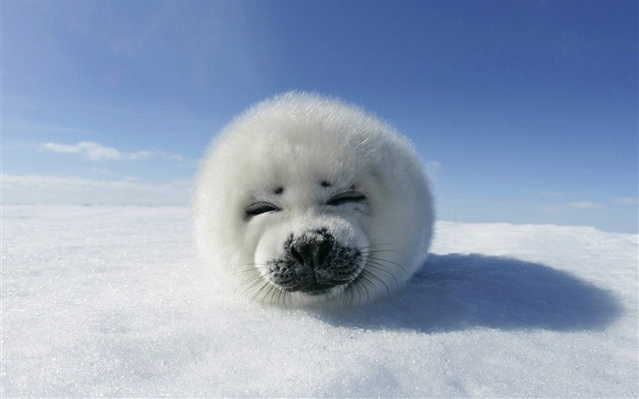 baby seal-Animal World Series Wallpaper Views:27316