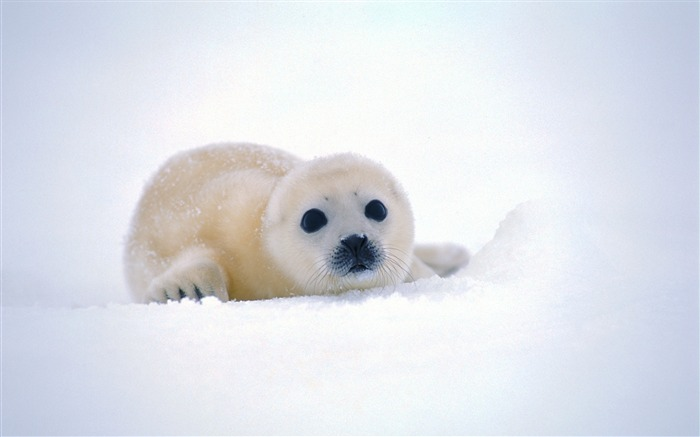 cute baby seal-Animal World Series Wallpaper Views:40471