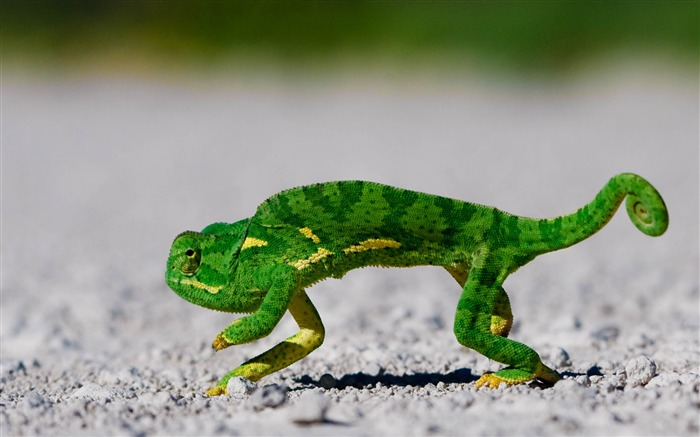 dancing lizard-Animal World Series Wallpaper Views:7425