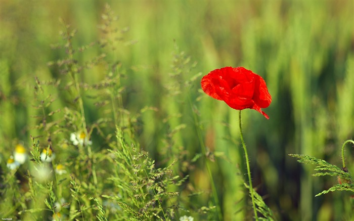 dark red poppy-Nature Landscape wallpaper selected Views:4999