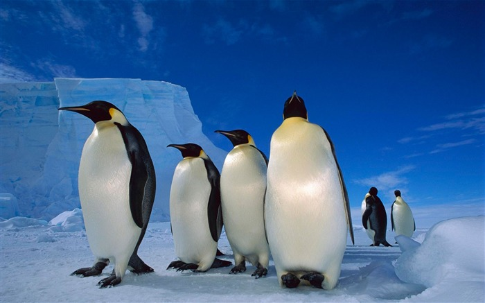 fantastic emperor penguins-Animal World Series Wallpaper Views:7193