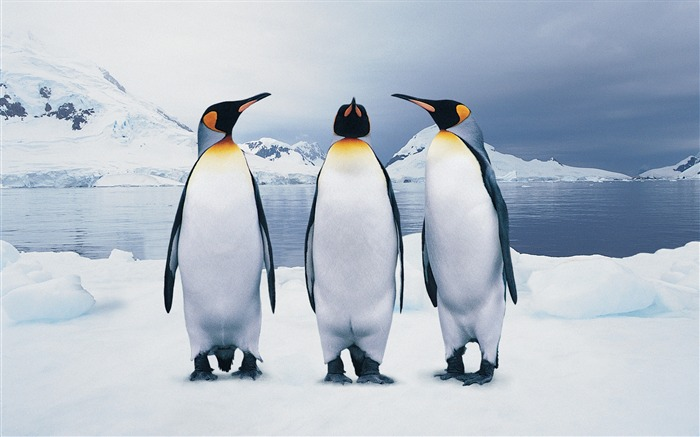 funny penguins-Animal World Series Wallpaper Views:15573