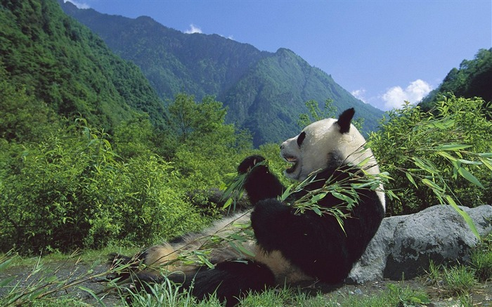 happy feeding panda-Animal World Series Wallpaper Views:7736