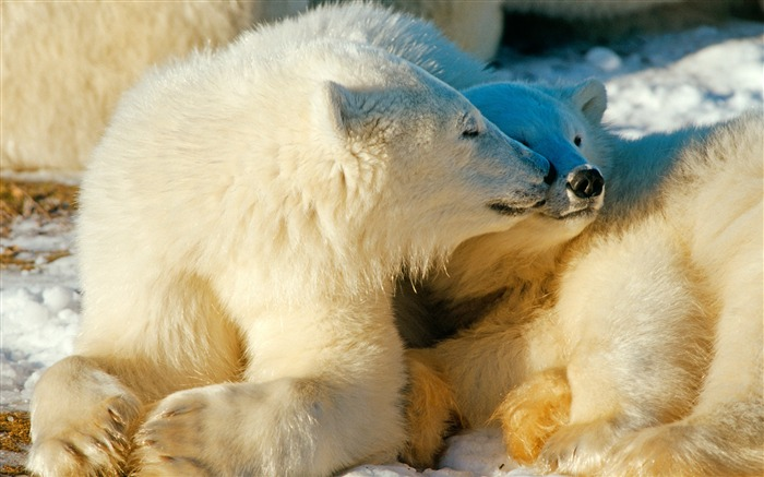 polar bears-Animal World Series Wallpaper Views:6132