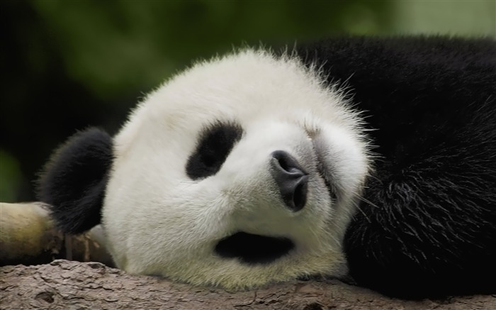 sleeping panda-Animal World Series Wallpaper Views:8779