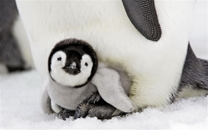 wonderful baby penguin-Animal World Series Wallpaper Views:34781