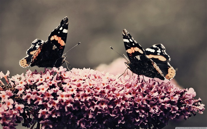 Dance - beautiful butterfly - Desktop Wallpaper Album Views:10846