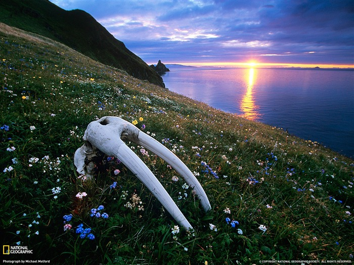 Walrus Skull Bristol Bay-National Geographic magazine photography Views:3721