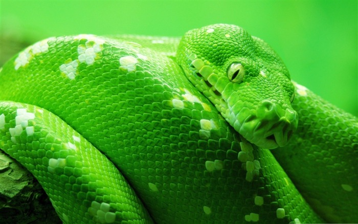 boa tree snake-Animal World Series Wallpaper Views:8613