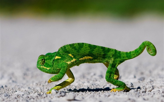 chameleon-Animal World Series Wallpaper Views:5569