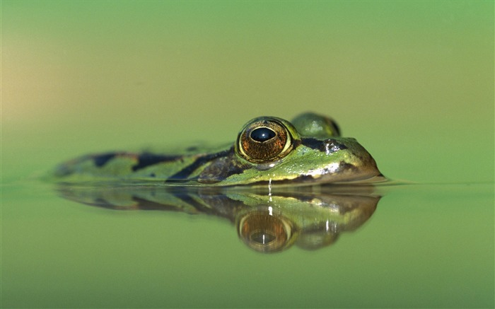 edible frog germany rana esculenta-Animal World Series Wallpaper Views:5300