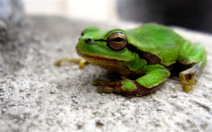 frog-Animal World Series Wallpaper Views:5593