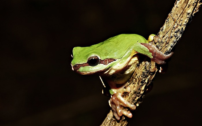 frog on branch-Animal World Series Wallpaper Views:5934