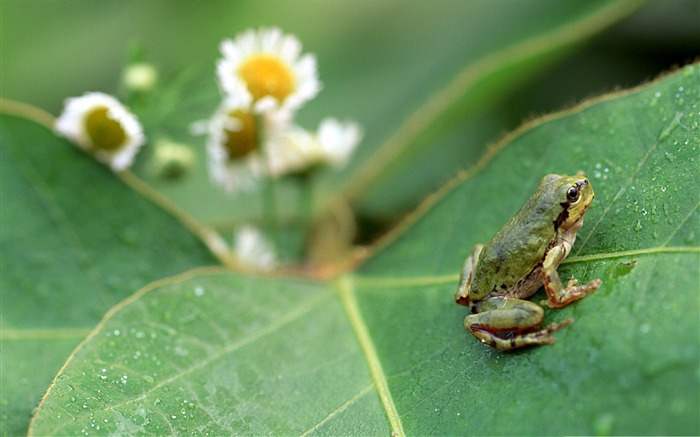frog over big leaf-Animal World Series Wallpaper Views:4886