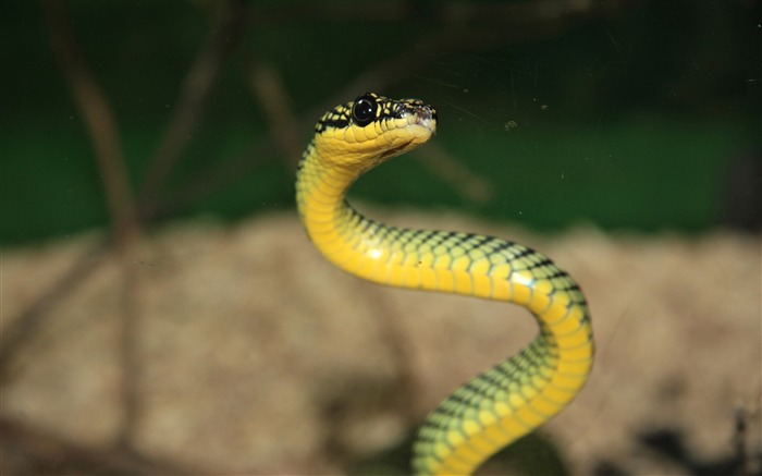 green and yellow snake-Animal World Series Wallpaper Views:15270