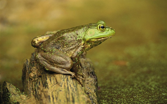 green frog and pond-Animal World Series Wallpaper Views:4669