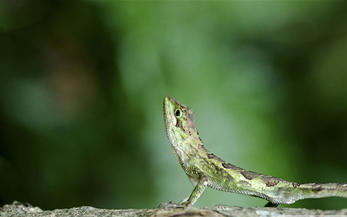 green lizard-Animal World Series Wallpaper Views:6355