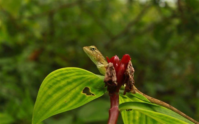 lizard-Animal World Series Wallpaper Views:4917