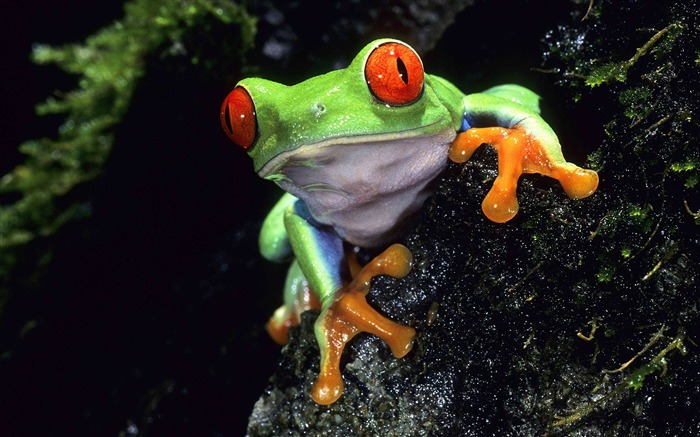 red eyed tree frog-Animal World Series Wallpaper Views:13578