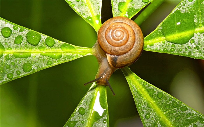 snail after the rain-snail desktop picture album Views:4935