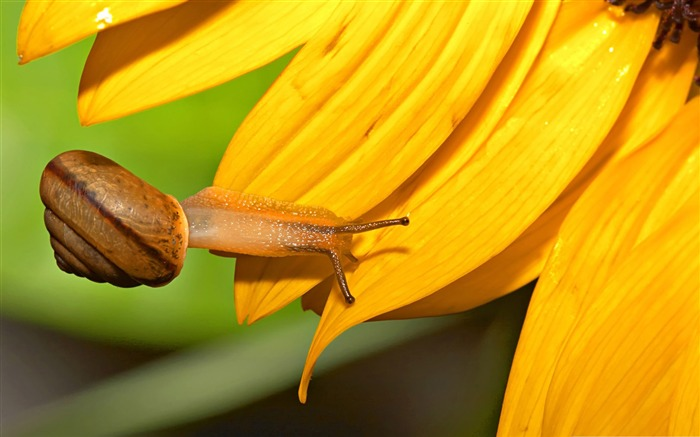 snail and sunflower-snail desktop picture album Views:4800