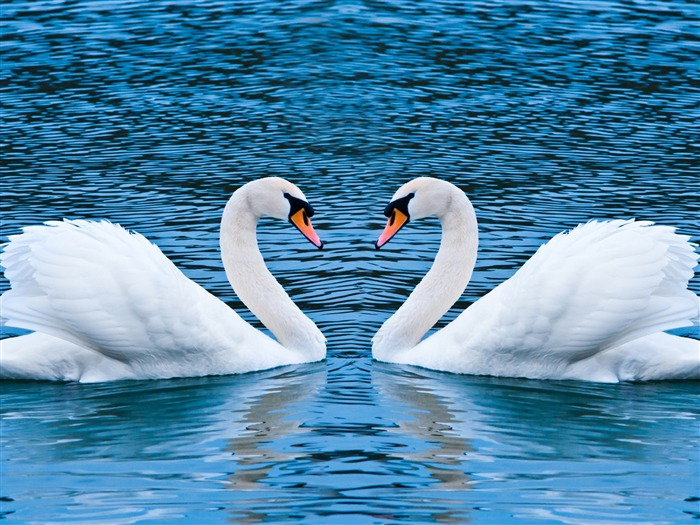two swans-love wallpaper pictures Views:11677