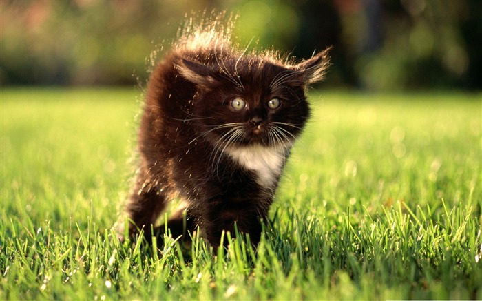 black fluffy kitty-Cute pet cat desktop pictures wallpaper Views:5196