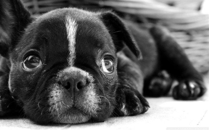 black french bulldog puppy-dog animal desktop wallpaper Views:39413