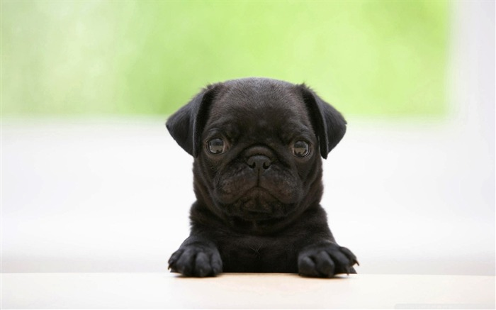 black pug puppy-dog animal desktop wallpaper Views:21627