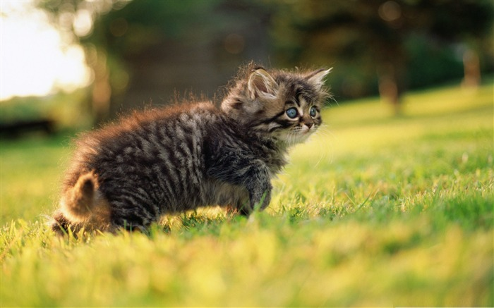 cute fluffy kitten-Cute pet cat desktop pictures wallpaper Views:6626