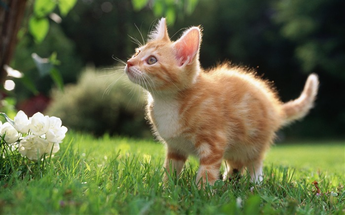 cute orange kitten-Cute pet cat desktop pictures wallpaper Views:8573