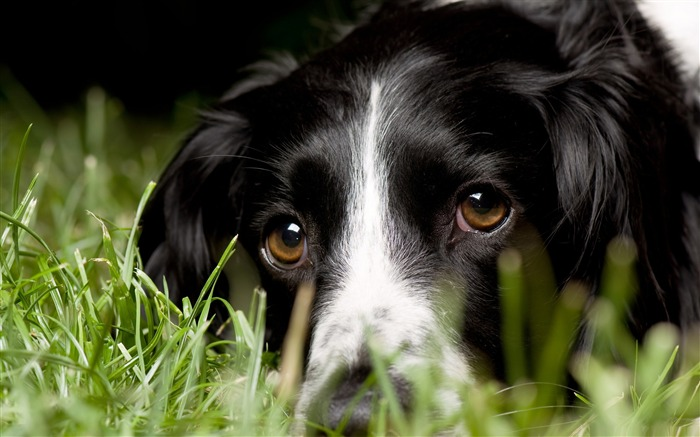 dog in grass-dog animal desktop wallpaper Views:8143
