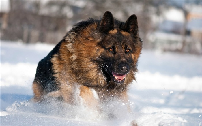 german shepherd running in snow-dog animal desktop wallpaper Views:30609