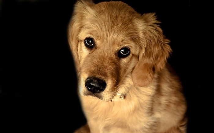 golden retriever dog-dog animal desktop wallpaper Views:10379