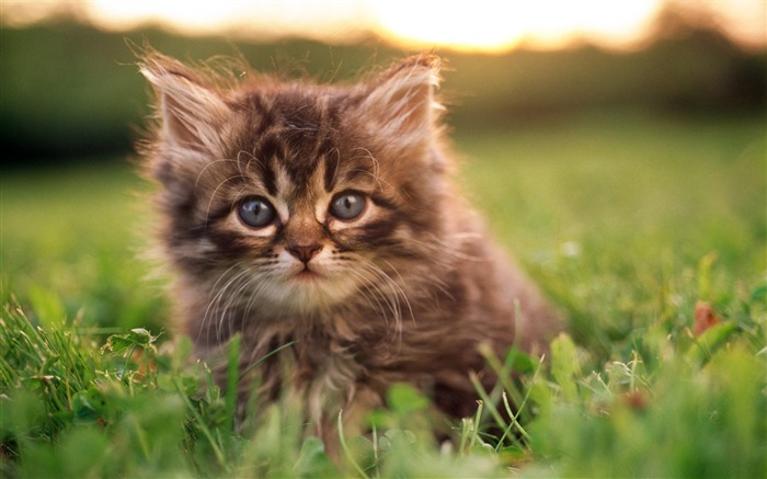 kitten portrait-Cute pet cat desktop pictures wallpaper Views:4308