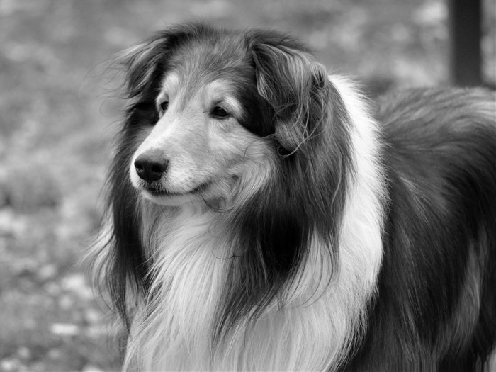 lassie dog-dog animal desktop wallpaper Views:5923