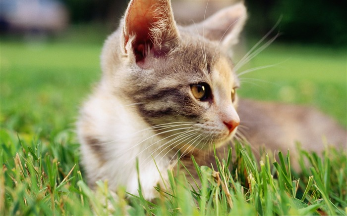 lazy kitten in grass-Cute pet cat desktop pictures wallpaper Views:4998