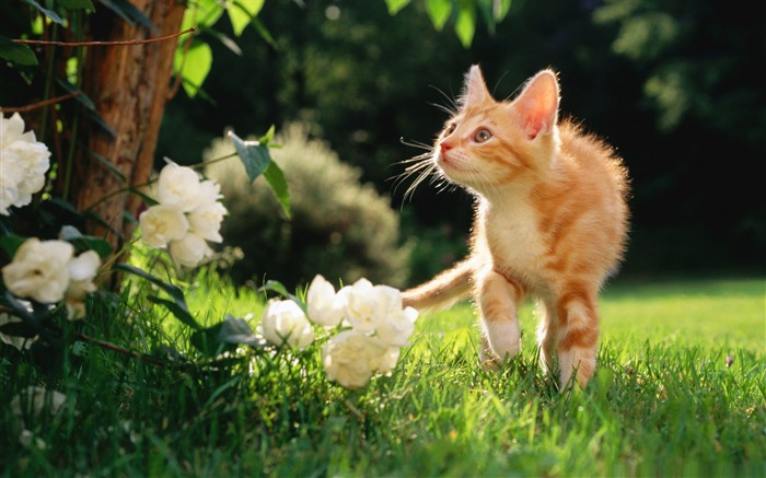 orange tabby kitten-Cute pet cat desktop pictures wallpaper Views:14565