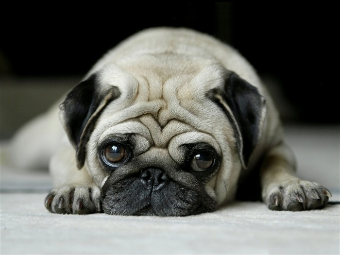 pug-dog animal desktop wallpaper Views:15882