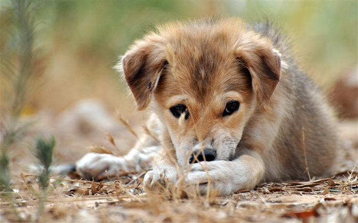 sad puppy-dog animal desktop wallpaper Views:16730